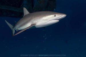 Caribbean reef shark diving.