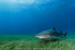 Lemon shark diving in the Bahamas