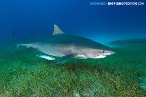 DIVE 11: Zipped back to Fish Tales for a late afternoon feed with four beefy tigers. Stay off the grass!