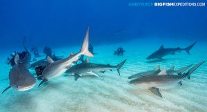 DIVE 15: Could only get six in a fame but there were SEVEN tiger sharks on this dive!