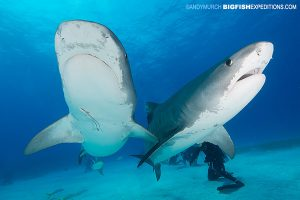 Tiger shark diving at Tiger Beach.DIVE 17: 3 Tigers on the reef during the last hoorah!