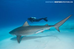 DIVE 16: 4 well behaved tiger sharks and another fly-by from a great hammerhead.