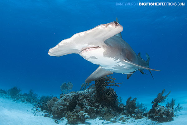 Great hammerhead shark diving at Tiger Beach.