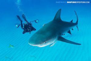 Bull shark diving at Tiger Beach.