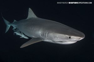 Tiger shark diving at night.