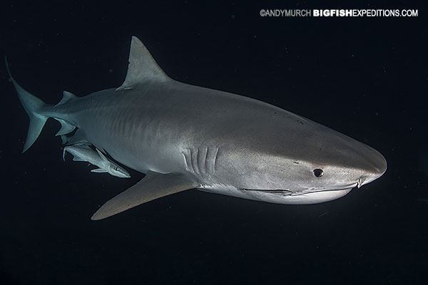 Tiger shark diving at night.