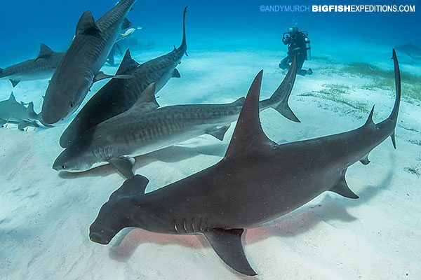 Dive with tiger sharks and hammerheads