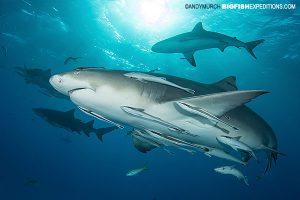 Lemon shark diving