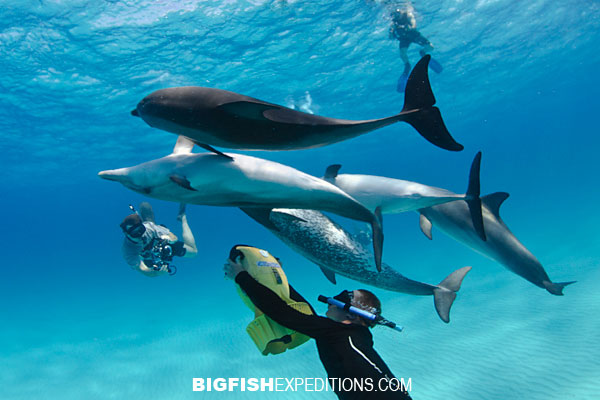 Diving with Atlantic spotted dolphins at Tiger Beach in the Bahamas