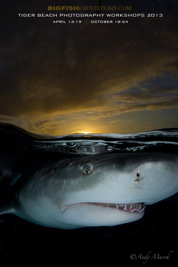 Tiger Beach Shark Shootout