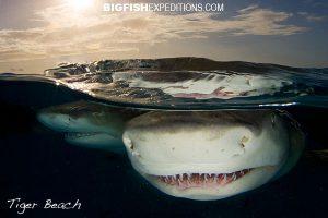 shark splits