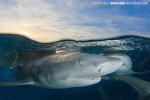 Lemon sharks at Sunset at Tiger Beach in the Bahamas
