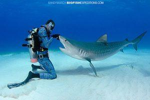 Tiger Beach shark feeding