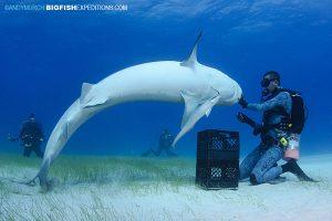 Tiger Shark spinning at Tiger Beach i the Bahamas