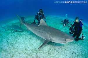 Divers with a Tiger Shark st Fish Tales near Tiger Beach.
