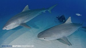 Two tiger sharks diving at Tiger Beach in the Bahamas