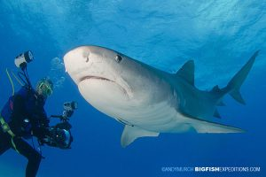 Diver and Tiger Shark