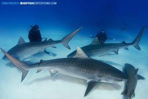 Dive with three tiger sharks at Tiger Beach.