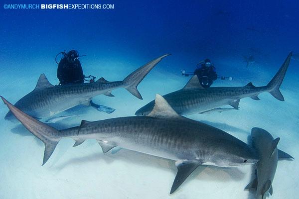 Dive with three tiger sharks at Tiger Beach.