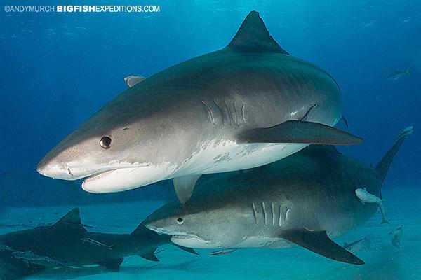 Two big tiger sharks at Tiger Beach