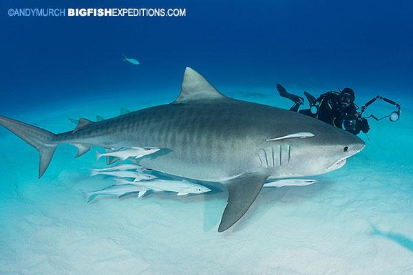 Tiger Beach shark diving