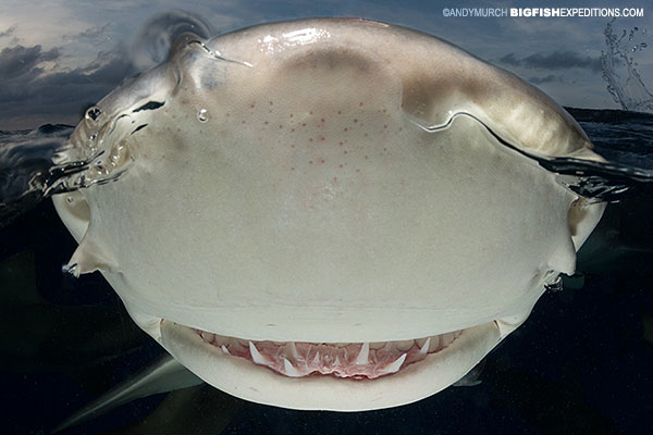 A lemon shark noses the camera during a split frame photography session