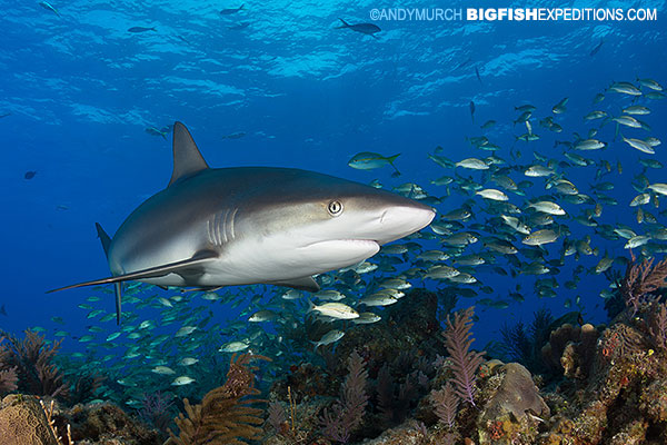 A caribbean reef shark cruising over the reef at Fish Tales