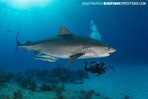 Tiger shark diving at tiger beach