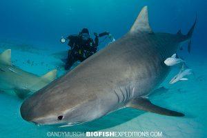 Diving with a big tiger shark