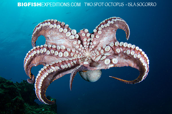 Diving with a two spotted octopus Isla Socorro