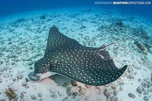 Eagle ray in Cancun diving
