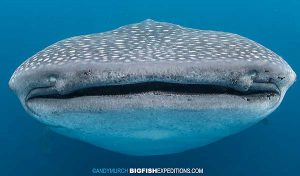 Swimming with a huge whale shark