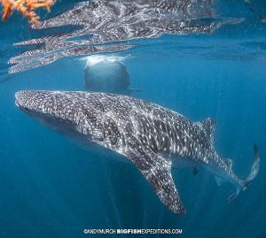 Lots of whale sharks to snorkel with