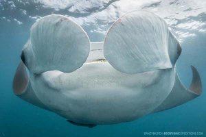Manta ray snorkeling in Mexico