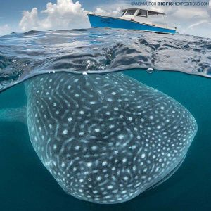 Whale shark and boat over-under