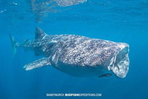 Whale shark snorkeling in Isla Mujeres