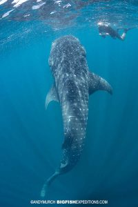 Snorkeling with a bottling whale shark