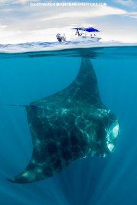 Massive manta in Isla Mujeres