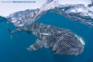 Whale shark feeding near the surface. Snorkelling with the biggest fish in the sea.