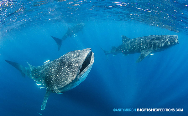 Three whale sharks swimming in Isla Mujeres Mexico
