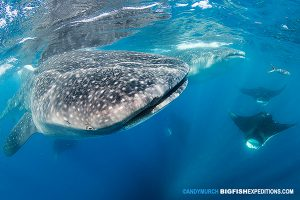 Snorkeling with whale sharks and manta rays