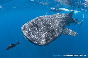 Snorkeler with a big whale shark