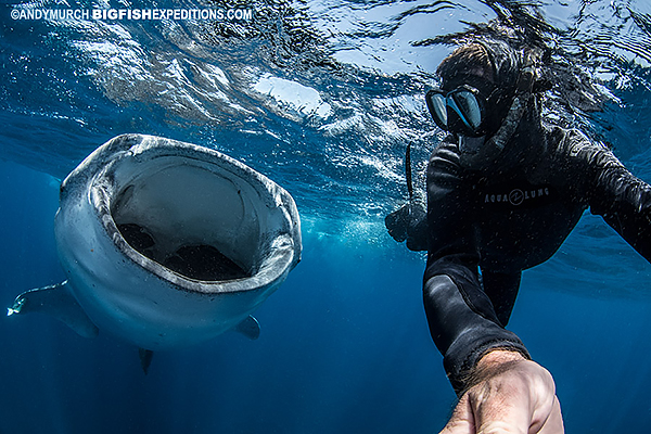 Swimming with a big whale shark.