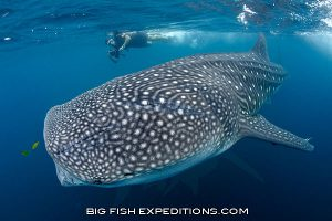 Diver with a whale shark