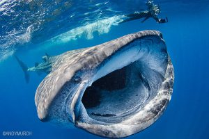 Whale shark diving in Isla Mujeres, Mexico