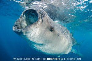 Big whale shark swimming