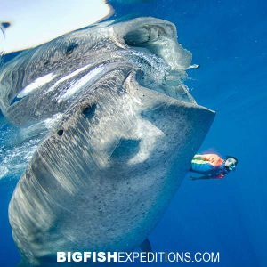 A diver swimming with a whale shark