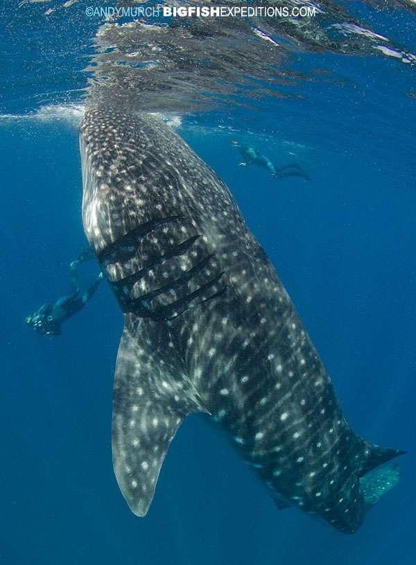 Whale Sharks Selfie