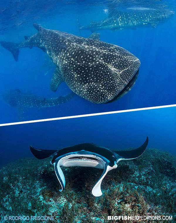 Whale Sharks and Manta Valley Diving