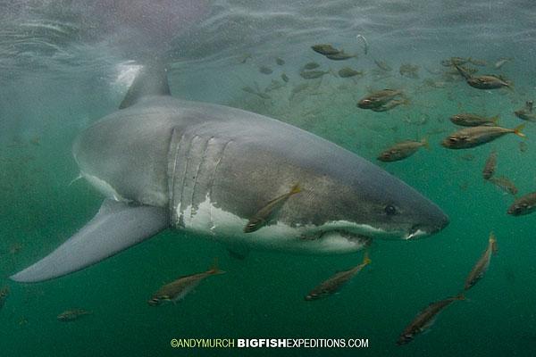 White Shark Seal Island